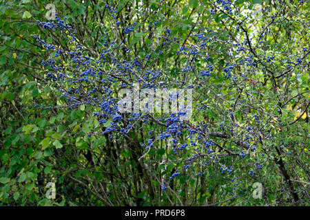 Blue sloes used for making sloe gin fruiting in autumn on a Blackthorn bush in a rural garden hedgerow in Carmarthenshire West Wales UK  KATHY DEWITT - Stock Image