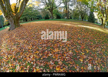 Fisheye view of colorful fall maple leaves covering the ground in Shaughnessy Park and arboretum, The Crescent, Vancouver, BC, Canada - Stock Image