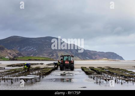 Ballyganney, County Donegal, Ireland. 11th March 2019. Working on oyster beds, one of Donegal's major exports to EU countries and threatened by Brexit. Credit: Richard Wayman/Alamy Live News - Stock Image