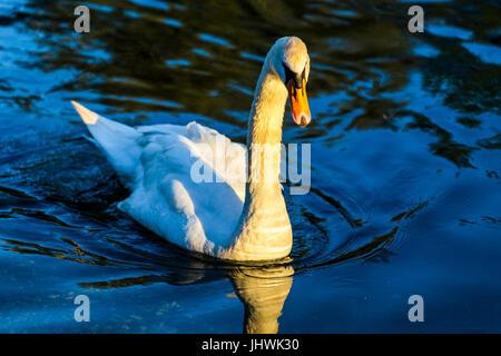 Mute swan (Cygnus Olor) swimming in the water - Stock Image
