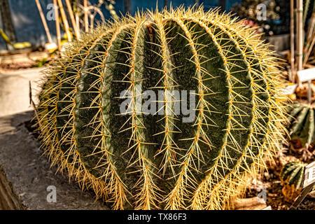 Italy Piedmont Turin Valentino botanical garden - cactaceae - Ferocactus recurvus ( Mill ) Borg. - Stock Image