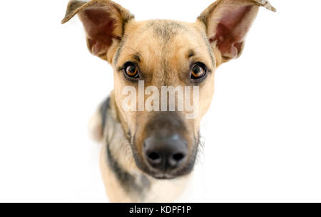Dog isolated on white is a closeup of a curious German Shepherd dog looking curious staring right at you. - Stock Image