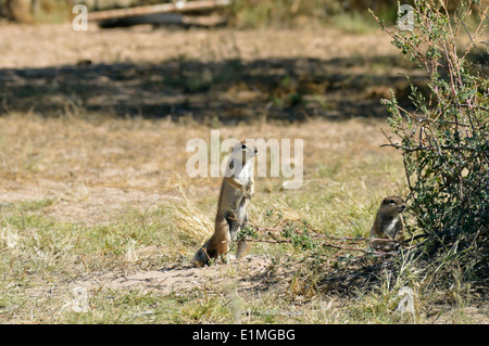Cape ground squirrel (Xerus inauris) one alert while another sits by entrance to burrow, Namibia - Stock Image