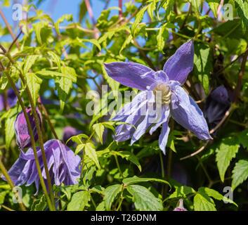 A spring flowering mauve clematis (Clematis macropetala) climbing plant. - Stock Image