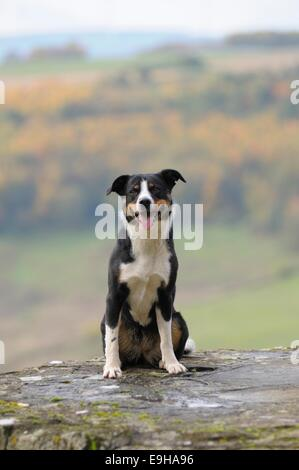 Appenzeller Sennenhund or Appenzell Mountain Dog, sitting on a wall, Germany - Stock Image