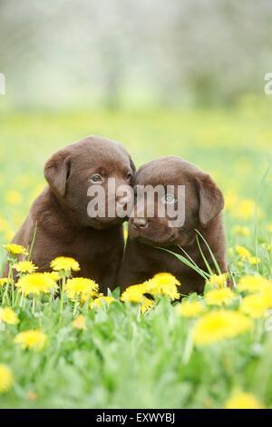 Labrador puppies, Upper Palatinate, Bavaria, Germany, Europe - Stock Image