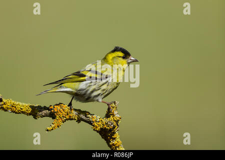 Male Eurasian siskin, Latin name Carduelis spinus, perched on a lichen covered twig, set against a pale green backgournd - Stock Image