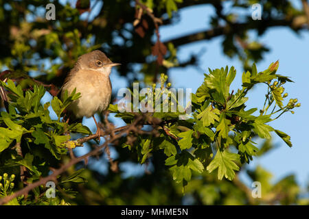 female Common Whitethroat (Sylvia communis) perched among fresh leaves and flowers of a Pedunculate Oak (Quercus robur) tree - Stock Image