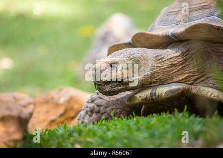 Close-up view of an African Spurred Tortoise. - Stock Image