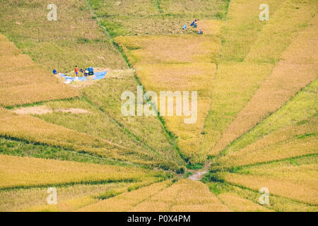 Farmers harvesting the spider web rice fields in Cancar Village, near Ruteng, Manggarai Regency, island of Flores, Indonesia. - Stock Image