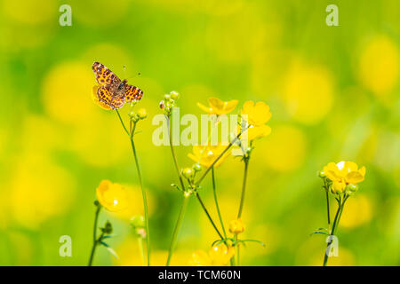 Close-up of the Map butterfly araschnia levana spring season outfit with open wings view. - Stock Image