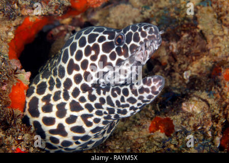Close-up of a Honeycomb Moray (Gymnothorax favagineus). Tofo, Mozambique - Stock Image