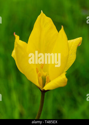 Yellow flower of the spring blooming hardy bulb, Tulipa sylvestris - Stock Image