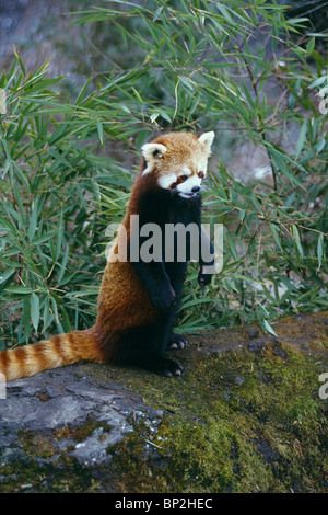 Red or lesser panda standing up on mossy rock Sichuan China - Stock Image