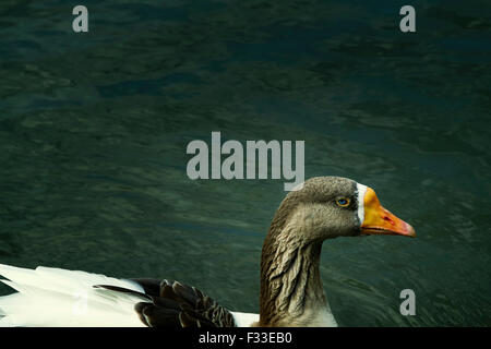 One duck in the water. - Stock Image