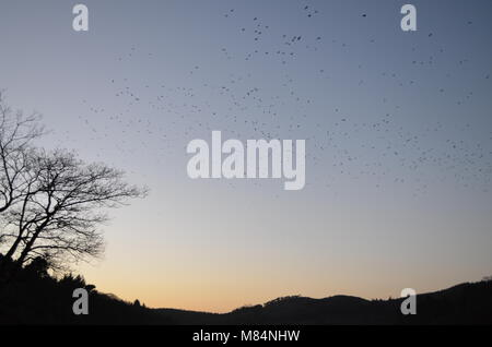 A flock of birds rise into the sky in a cool winter afternoon at Castlewellan Forest Park, N. Ireland - Stock Image