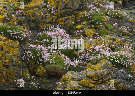 Thrift or sea pink (Armeria maritima) in flower among yellow lichens on seashore, on the isle of Lunga, Treshnish - Stock Image