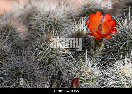 Red cactus flower - Stock Image