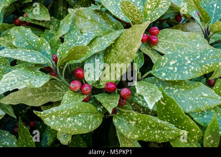 Aucuba Japonica Crotonifolia, an evergreen female plant with red berries, also known as Japanese Laurel or Spotted - Stock Image