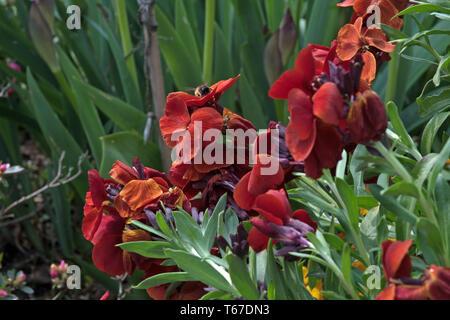 Mahogany-red fragrant wallflower - Stock Image