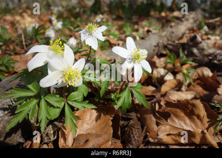 windflower - Stock Image
