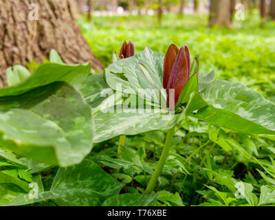 Toadshade or wake robin (Trillium sessile). Flowers smell like rotting meat and are fly pollinated. - Stock Image