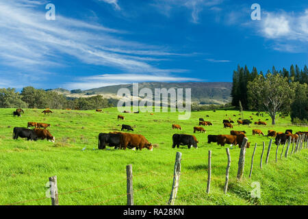 Cattle graze on green grass upcountry Maui. - Stock Image