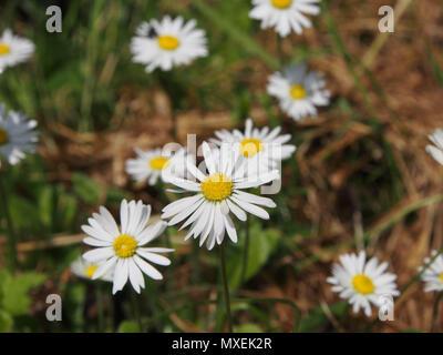 Wild daisy flowers - Stock Image