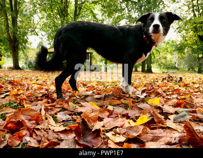 Ashbourne Park, Derbyshire, UK. 17th Oct, 2018. UK Weather: Autumn leaves fall in Ashbourne Park, Derbyshire the gateway to the Peak District National park Credit: Doug Blane/Alamy Live News - Stock Image