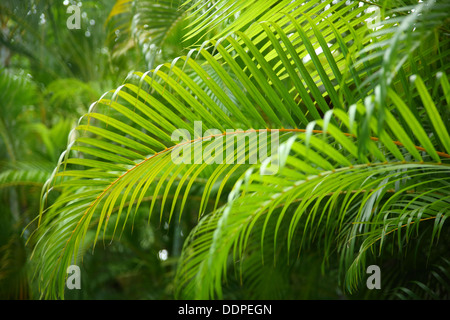 Tropical Palm Branches, Costa Rica - Stock Image