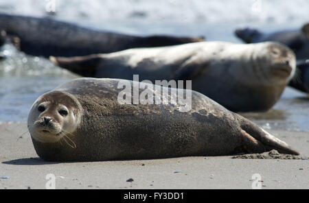 Close up of gray seals (Halichoerus grypus) at the beach at Dune, Helgoland, Germany - Stock Image