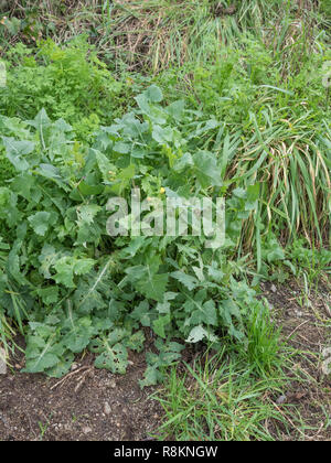 Flowering specimen of Smooth Sow-Thistle / Sonchus oleraceus, the leaves of which are edible and are used as a foraged food. Related to lettuce. - Stock Image