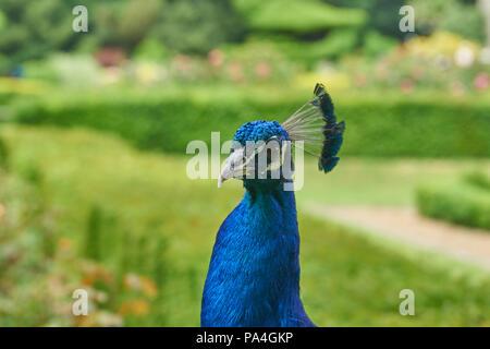 ornamental peacock   Pavo cristatus - Stock Image