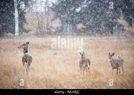 White-tailed Deer doe with twin fawns in snow storm (Odocoileus virginianus) - Stock Image