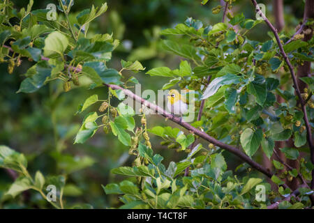 Tiny Silver Eye Bird - Stock Image