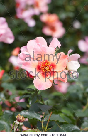 Rosa For Your Eyes Only 'Cheweyesup' flower. - Stock Image
