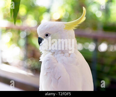 Close-up of a sulphur-crested cockatoo at Hartley's Crocodile Adventures wildlife sanctuary, Captain Cook Highway, Wangetti, Queensland, Australia. - Stock Image