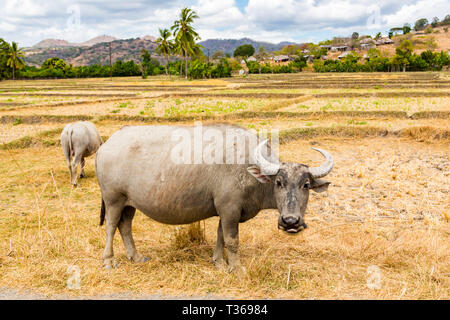 Animal stock in Southeast Asia. Two zebu, buffaloes or cows, cattle on a field. Village on a hill in rural East Timor - Timor-Leste, near Baucau, Vema - Stock Image