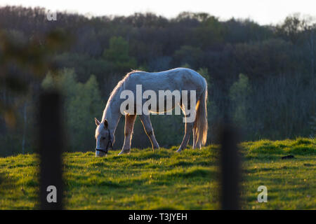 Ashford, Kent, UK. 10th Apr, 2019. UK Weather: The sun sets after a lovely sunny day in Ashford, Kent as this horse grazes in a field. © Paul Lawrenson 2019, Photo Credit: Paul Lawrenson/ Alamy Live News - Stock Image