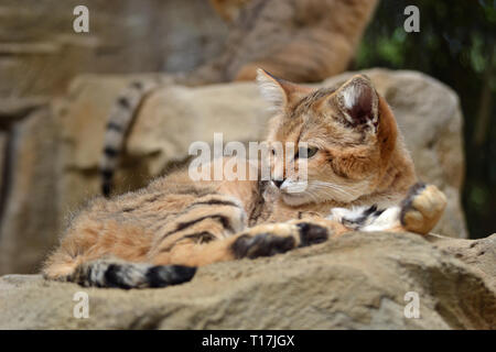 Sand Cat at Exmoor Zoo, Barnstaple, Exmoor, Devon, UK - native to the deserts of Asia and Africa - Stock Image