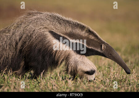 A Giant Anteater from Brazil - Stock Image