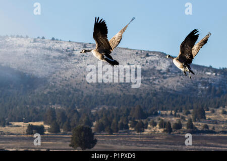 Canada geese (Branta canadensis) taking off at Stevenson Park in winter; Olene, Oregon, United States of America - Stock Image