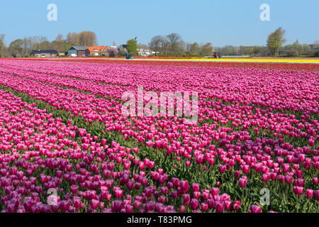 Lisse, Holland - April 18, 2019: Traditional Dutch tulip field with rows of pink flowers - Stock Image