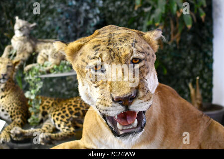 Stuffed liger, half lion and half tiger. Taxidermy. - Stock Image