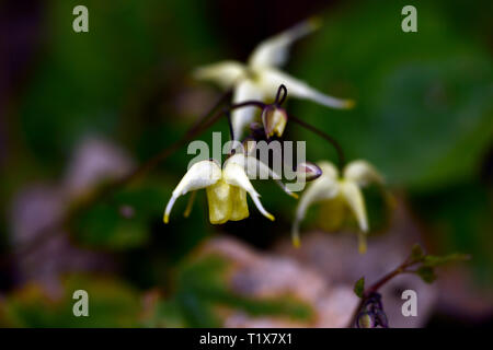 Epimedium Flowers of Sulphur,yellow,flowers,woodland,perennials barrenwort,shade,spring,shady,shaded,RM Floral - Stock Image