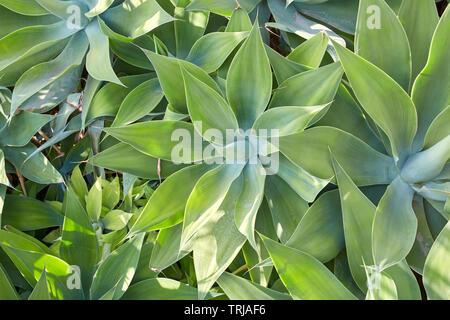Aloe, succulent plants texture background in sunlight - Stock Image