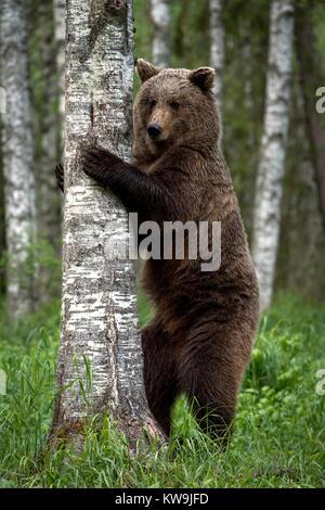 Eurasian Brown Bear, Finland - Stock Image
