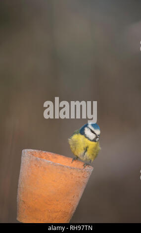 Blue tit,finding food in an old flower pot, late winter in Oxfordshire - Stock Image