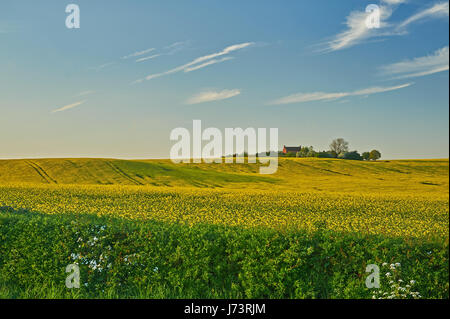 A yellow field of oil seed rape under a blue sky. - Stock Image