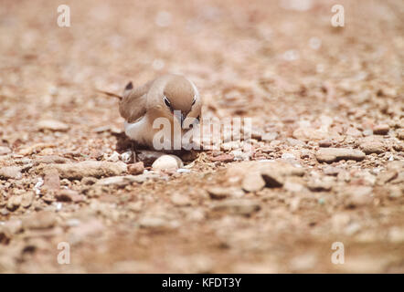 Small Indian Pratincole, Little Pratincole or Small Pratincole, (Gladiola lacteal), on ground nest with egg, Rajasthan, - Stock Image